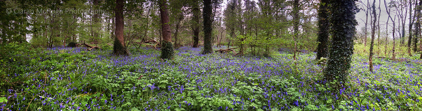 bluebell woods at lissadell